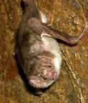 Desmodontinae ou chauve-souris hématophages