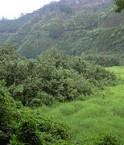 240px-Hawaii_Hibiscus_tiliaceus