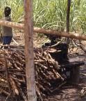 Le bio-éthanol au sucre de canne pourrait stimuler la croissance au Sierra Leone. © John Atherton, Wikimédia Commons