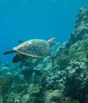 Guantanamo_sea_turtle