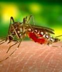 L'Aedes aegypti, petit moustique aux terribles effets par la maladie qu'il propage. © James Gathany (Wikimédia Commons)