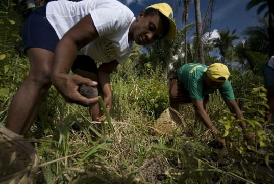 Ramasseurs de noix de coco à Maranhao
