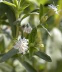 Fleurs de stevia rebaudiana. © Ethel Aardvark