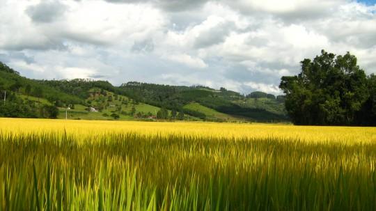 Culture du riz.