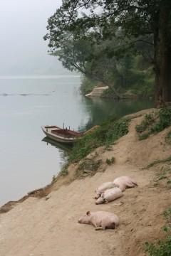 Cochons chinois morts.