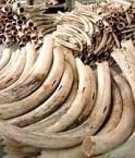 Défenses d'ivoire.