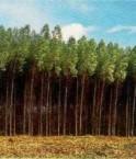 Monoculture d'eucalyptus. © Oliveira Santana