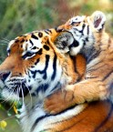 Tigres. © law_keven (Flickr.com)