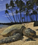 Tortue sur la plage. © SteveD. (Flickr.com)