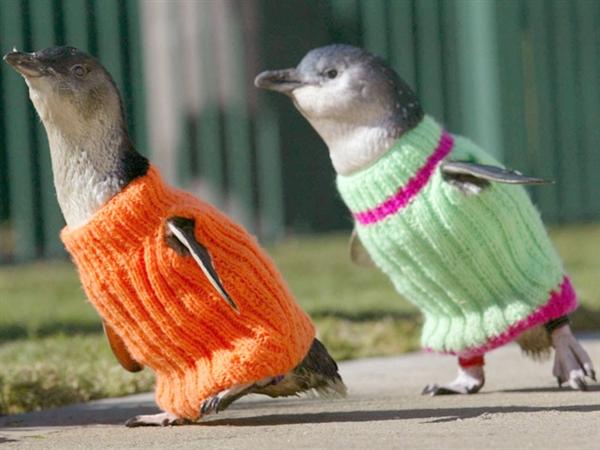 Pingouins habillés.