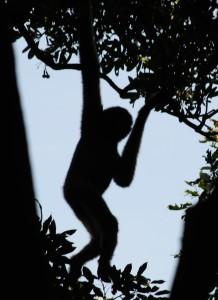 Gibbon de Hainan.