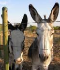 Deux ânes au Texas. © alexfiles (Flickr.com)