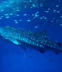 Le continent asiatique se tourne progressivement vers la protection des requins. © Mike Johnston