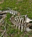 Des os de vache, l'ingrédient miracle pour dépolluer les eaux? ©Jonathan.Vail (Flickr)