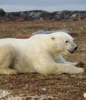 L'île Wrangel abrite une importante population d'ours polaires. ©Martin Lopatka (Flickr)