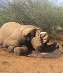 Le braconnage fait des ravages chez les éléphants du Cameroun. ©elainedawn (Flickr)