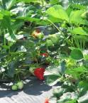 """Un nouveau """"vaccin"""" naturel pour ces fraises. ©versageek"""