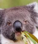 Le koala, symbole de l'Australie. © rtaphoto (Flickr)