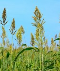 Champ de millet © songsak paname