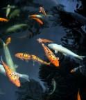 poissons_europe