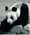 panda_animaux