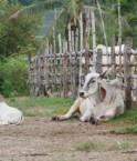 Maladie vache