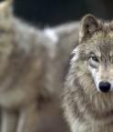 a loups