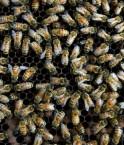 Victimes de virus et de parasites, des milliers de colonies d'abeilles sont décimées