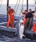 Hauling in Bluefin Tuna