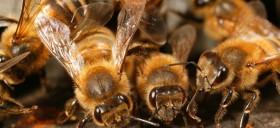 L'affaire abeille
