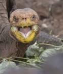 2048x1536-fit_diego-reussi-sauver-espece-danger-extinction-engendrant-tout-seul-quelque-800-bebes-tortues