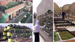 Agriculture urbaine au Caire.