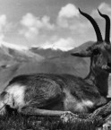 Gazelle du Tibet. © Deutsches Bundesarchiv