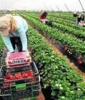 Récolte de fraises en famille.