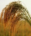 Grains de riz.