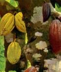 Cabosses de cacaoyer. © Tagishsimon