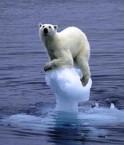 Ours polaire en détresse ! © monado (Flickr.com)