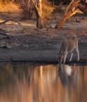 Un éland boit l'eau du Limpopo. © derekkeats (Flickr.com)