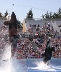 Orques au SeaWorld de San Diego, Californie. © The Lamb Family (Flickr.com)