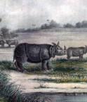 Rhinocéros de Java.