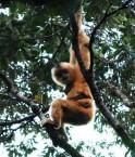 Gibbon de Hainan. © Greenpeace