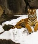 Tigre de Sibérie. © TeryKats (Flickr.com)